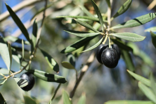 Black Olives - Drummonds View Olive Grove